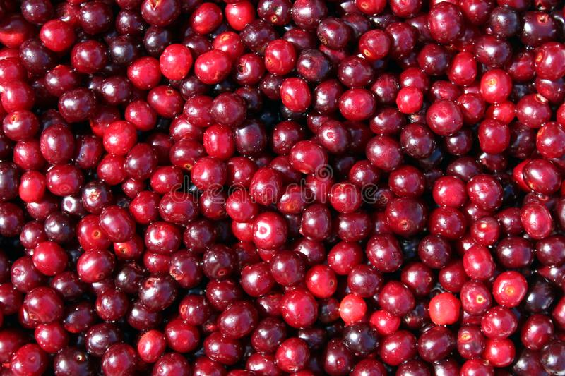 Texture image of fresh summer berries of ripe juicy cherry. Cherry, juicy, ripe, dark, burgundy, texture, scattered, leaves, summer, season, background picture royalty free stock photos