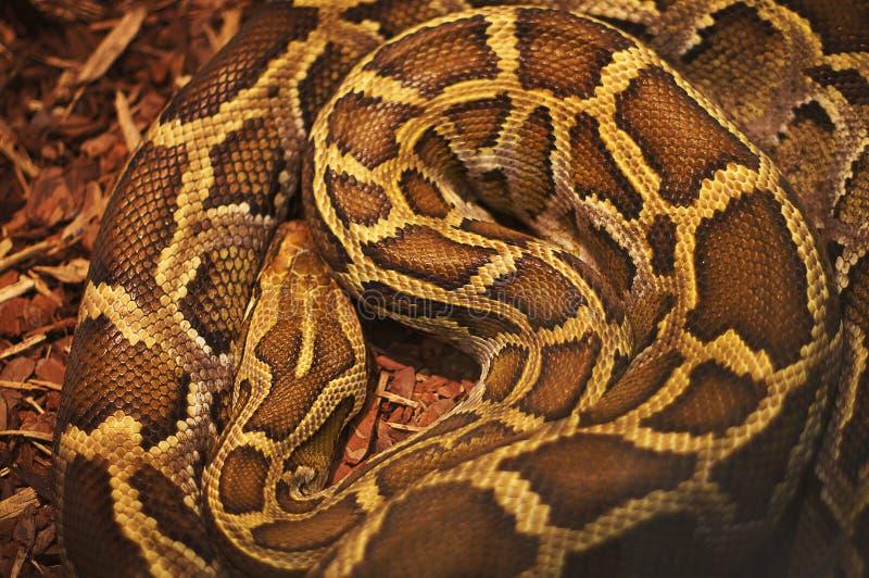 Texture a imagem do close-up de uma serpente mortal da anaconda imagens de stock royalty free