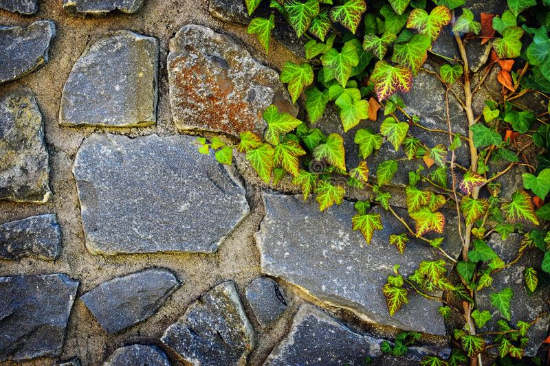 Texture Ivy leaves on wall. Texture of green Ivy leaves on stone wall  background stock photo
