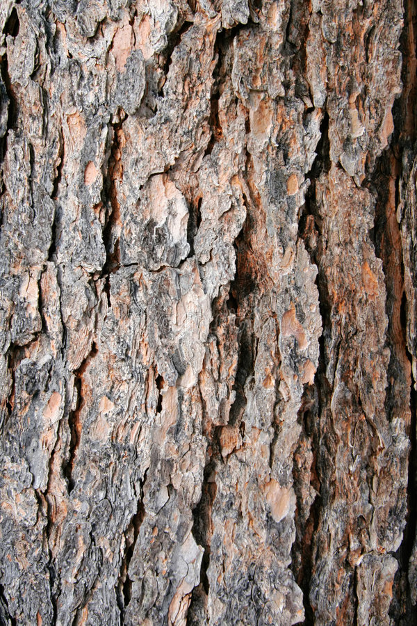 Texture la corteza de árbol de pino foto de archivo libre de regalías