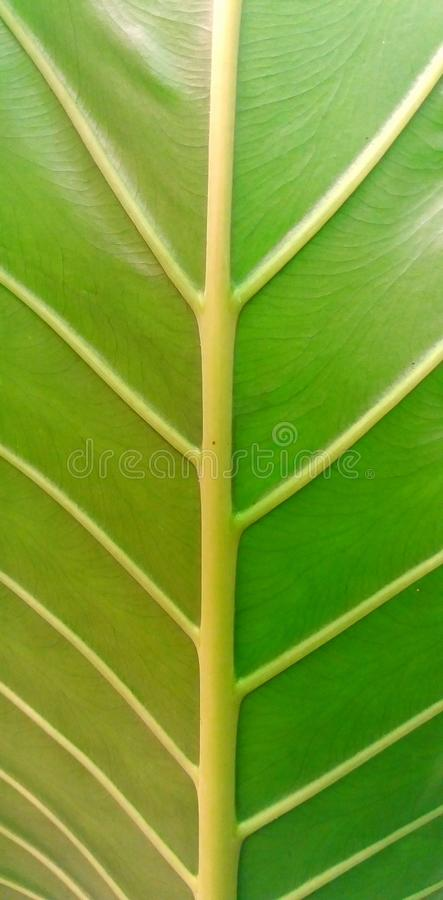 Texture of a leaf royalty free stock photography