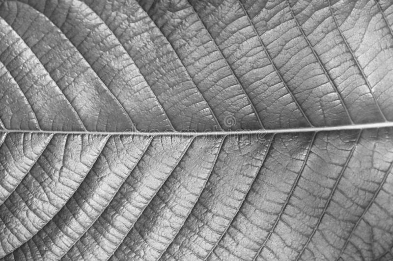 Texture of leaf of Magnoliopsida plant type for background, Monochrome style. Black and white stock images