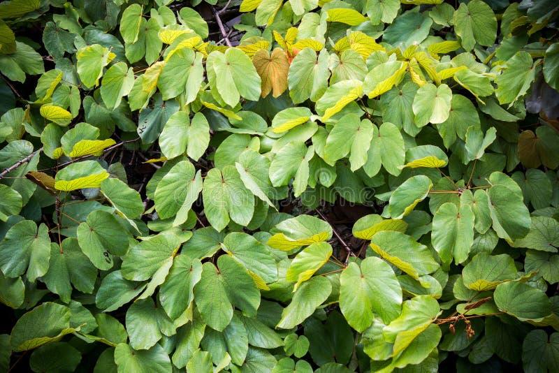 Texture leaved d'or de liane photos libres de droits
