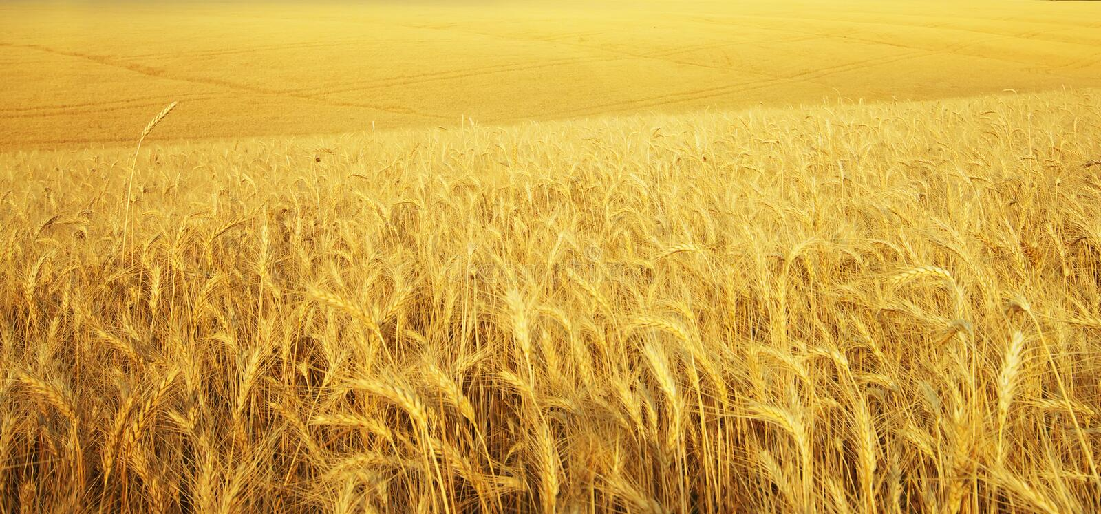 Texture meadow of wheat. Nature composition royalty free stock photo