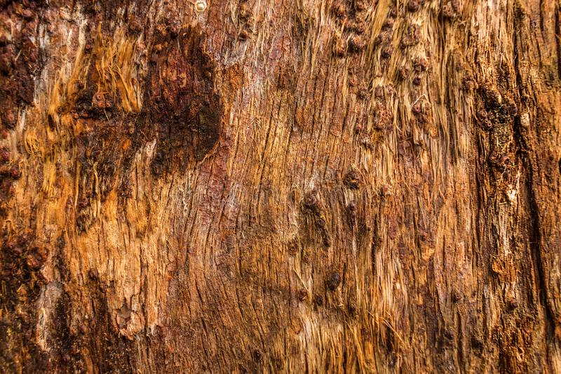 Texture of Mountain ash wood. Use as natural background royalty free stock photography