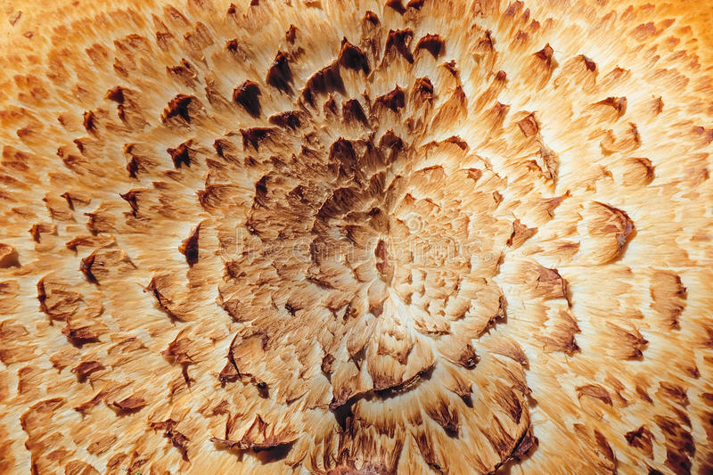 Texture of the mushroom Sarcodon royalty free stock images