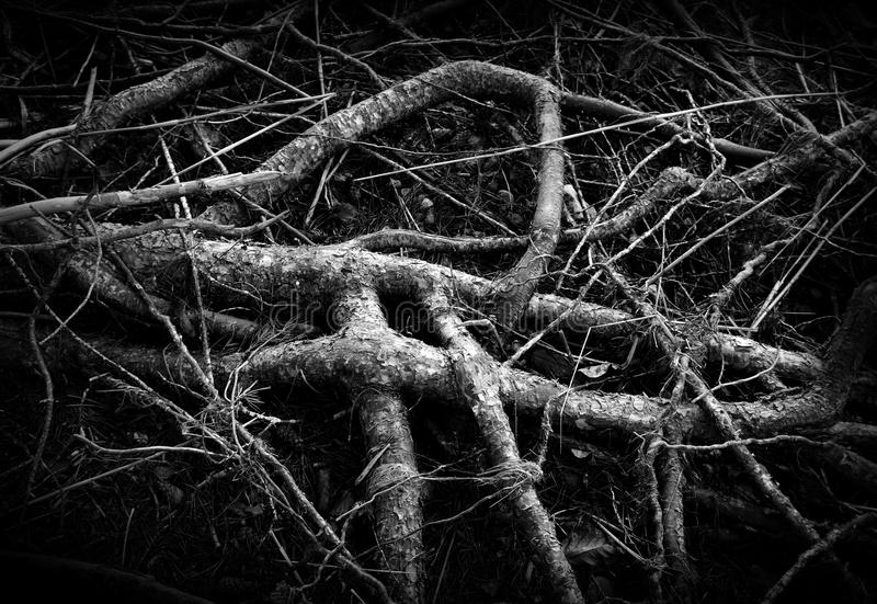 Texture of nature- roots of tree. Texture of nature - roots of pine tree stock images