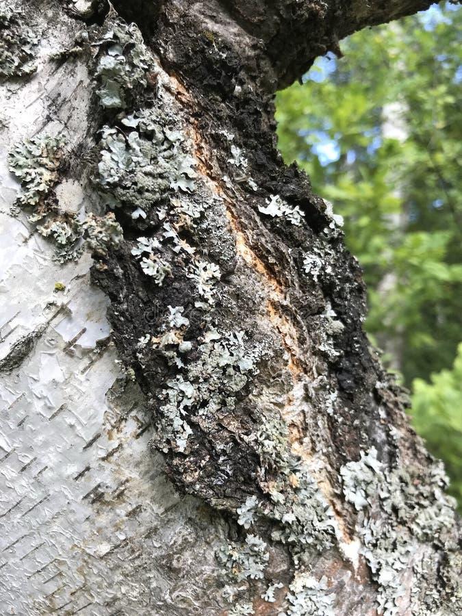 Texture naturelle écorce de bouleau avec des taches de lichen images stock