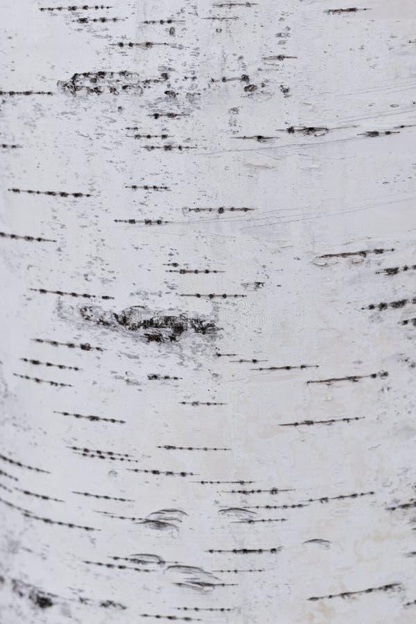 Texture naturelle criquée noire et blanche de l'écorce de bouleau russe photographie stock