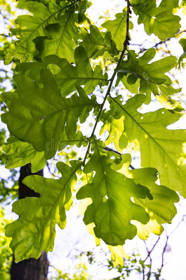 Texture of oak leaves under the sunlight stock images