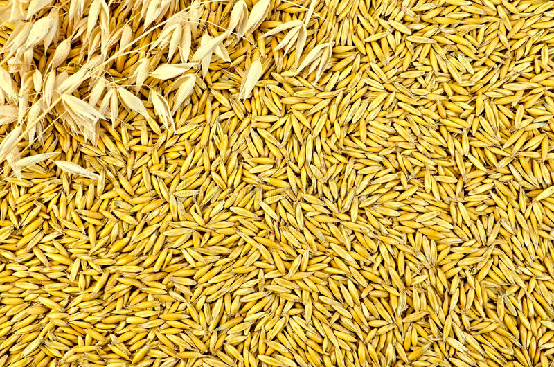 Texture from oat grains with stalks of oats royalty free stock photography