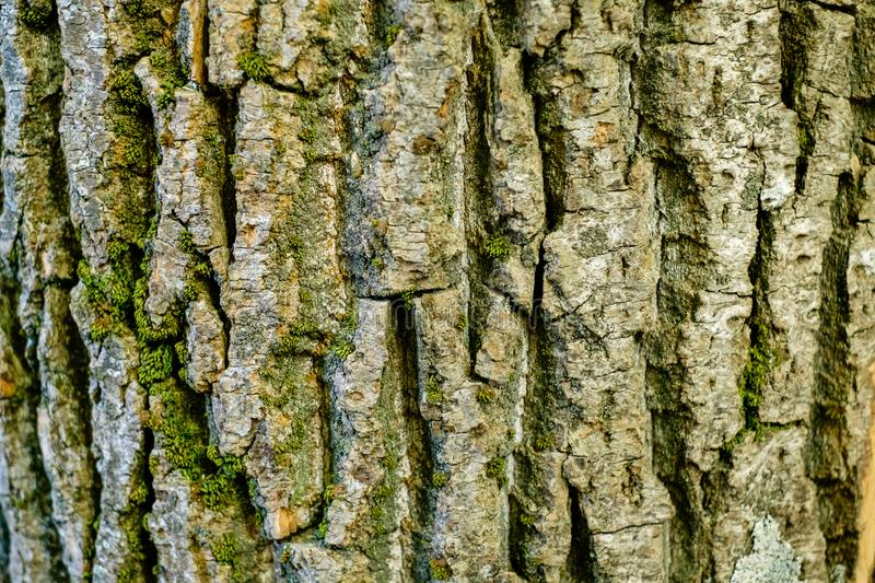 Texture of old birch bark with moss royalty free stock image