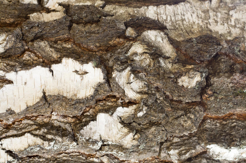 Texture of old birch tree bark with green moss royalty free stock image
