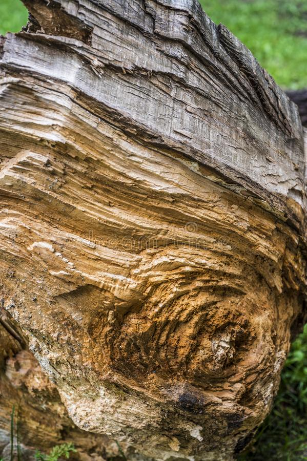 Texture of an old broken tree royalty free stock images