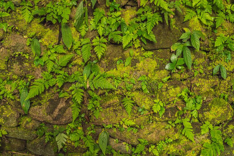 Texture of old stone wall covered green moss in Fort Rotterdam, Makassar - Indonesia.  stock photography