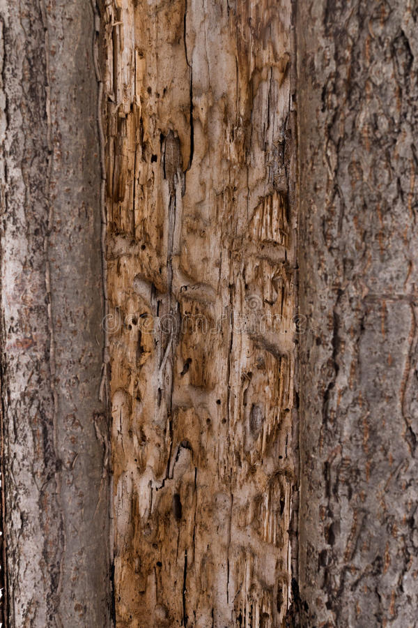 Texture the old tree bark. Picturesque crack. Bark texture royalty free stock images