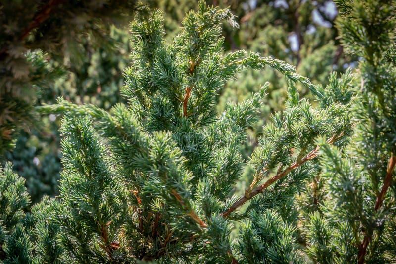 Texture originale des aiguilles de Meyeri de squamata de juniperus Bleu avec le fond vert des aiguilles peu profondes Macro aigui photos libres de droits