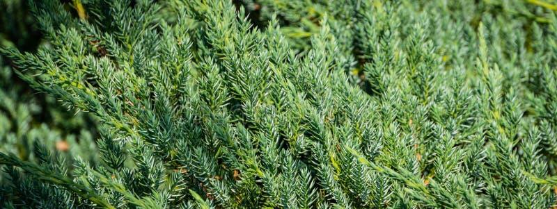 """Texture originale des aiguilles naturelles de tapis de lue du squamata """"Д de juniperus Bleu avec le fond vert des aiguilles peu  photo stock"""