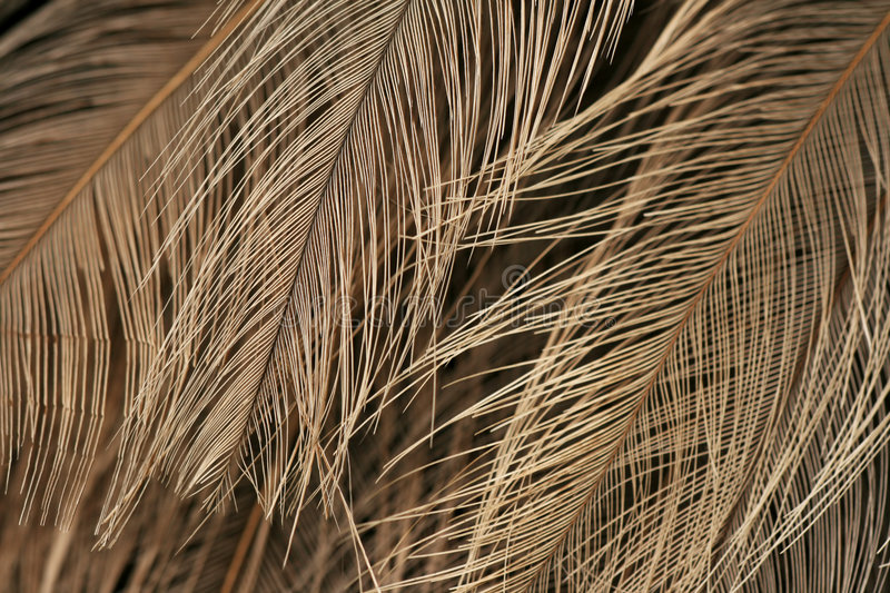 Texture of ostrich plumage. Texture/background of ostrich plumage royalty free stock photo