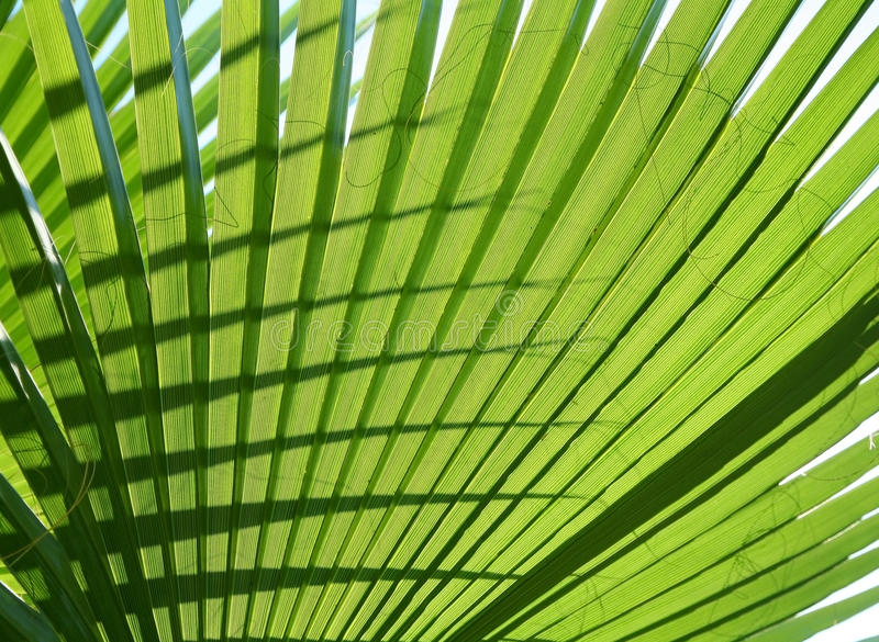 Download Texture palm leaf stock photo. Image of leaf, tropical - 15466508