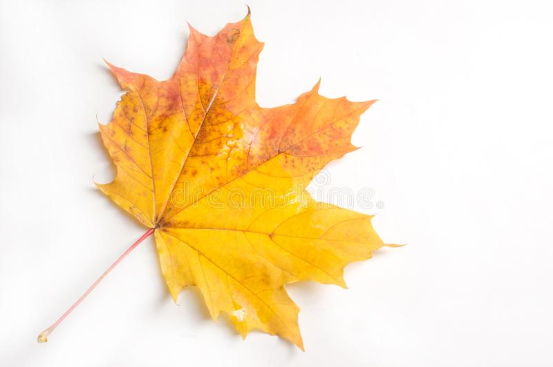 Texture, pattern, background. autumn maple leaf on a white back stock images