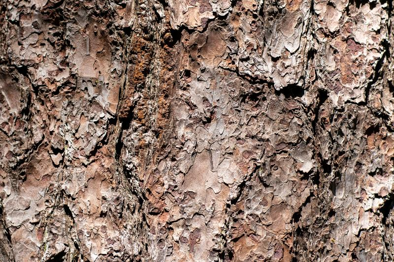 Texture of the pine bark in close up royalty free stock images
