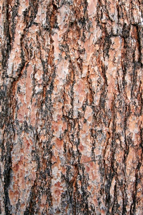 Download Texture pine tree bark stock image. Image of pine, wood - 1981557