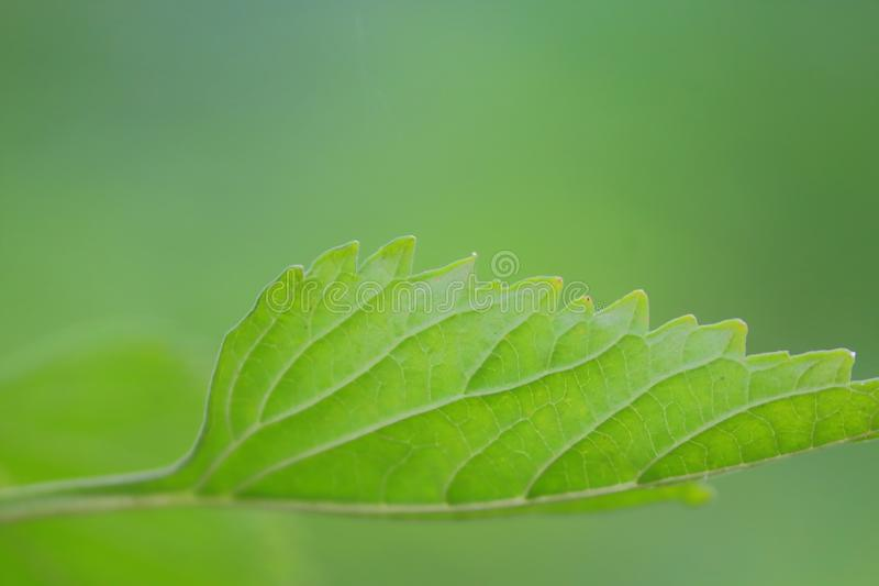 Texture in plant of green leaf, natural green background stock photo