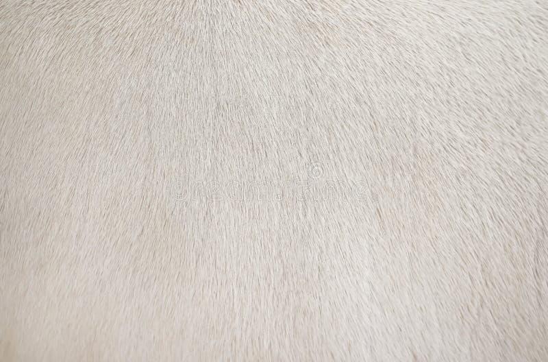 Texture propre de vraie fourrure blanche de vache, fond animal de modèle naturel de résumé photo libre de droits