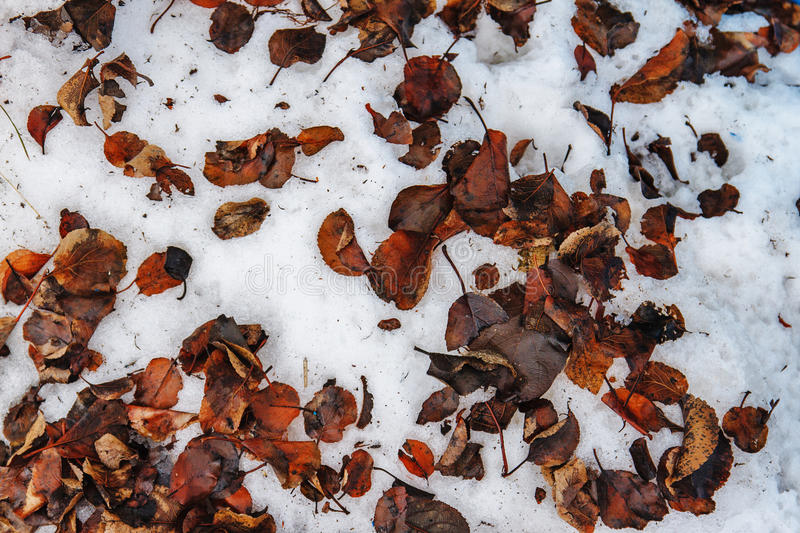 The texture of the red leaves in the snow royalty free stock images