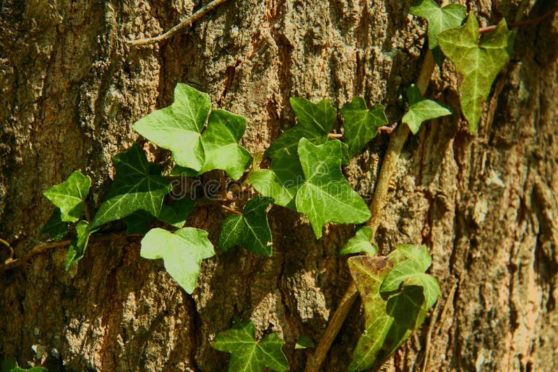 Texture in relief of the brown bark of a tree with vine climbing the trunk of an oak stock photo