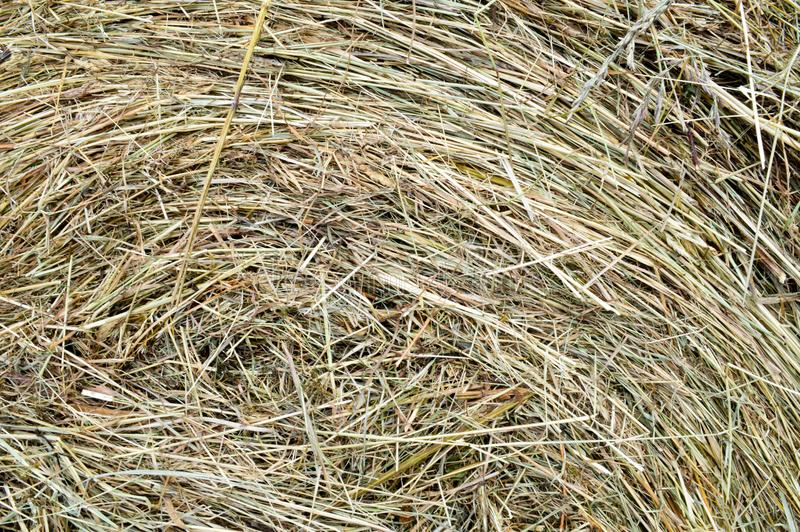 Texture of a round natural dried dry haystack of straw is a dry grass with spikelets and grass blades of brown yellow background royalty free stock image