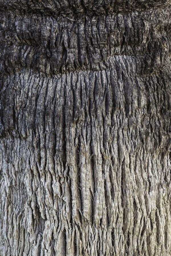 Texture Rugose et criquée de palmier photo libre de droits