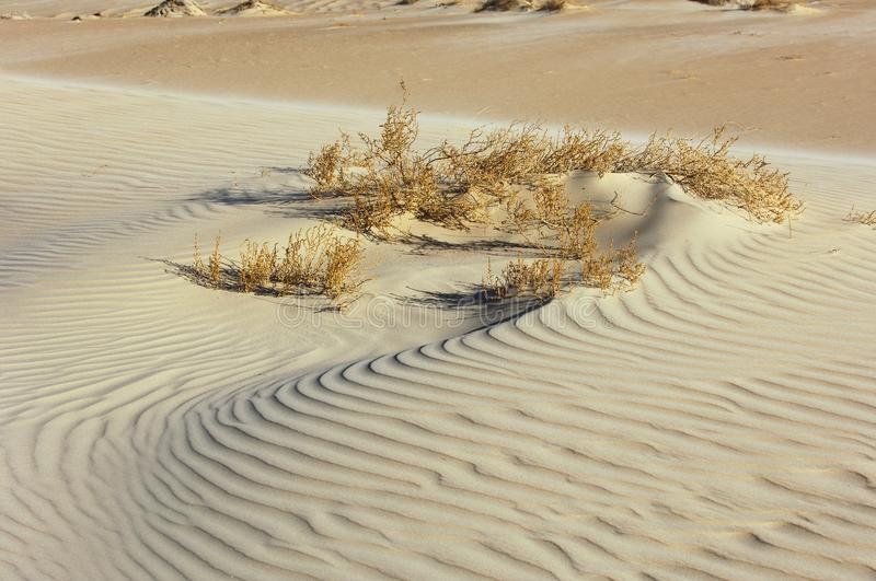 Texture of sand in the desert with plants. In Rub` Al Khali royalty free stock photography