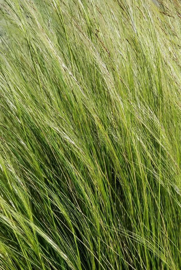 Texture Series - Green Grasses in the Wind royalty free stock photos