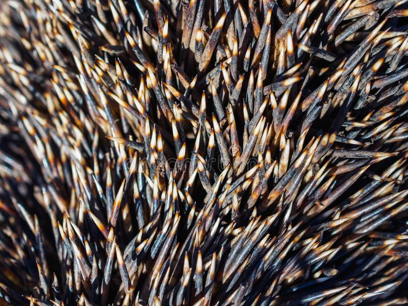The texture of the set of needles hedgehog closeup royalty free stock photography