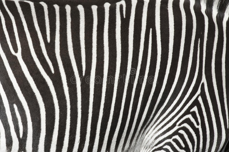 Texture of the skin of a zebra. stock photos