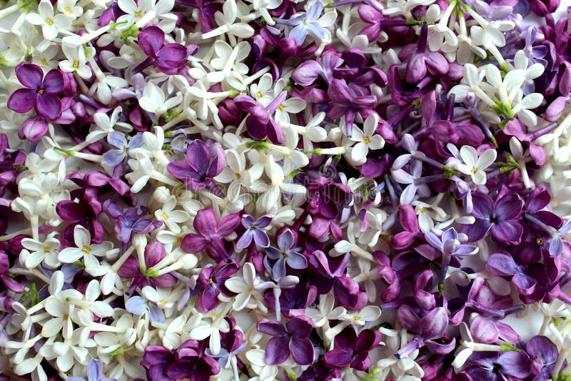 Texture of small flowers of lilac of different shades of purple royalty free stock photography