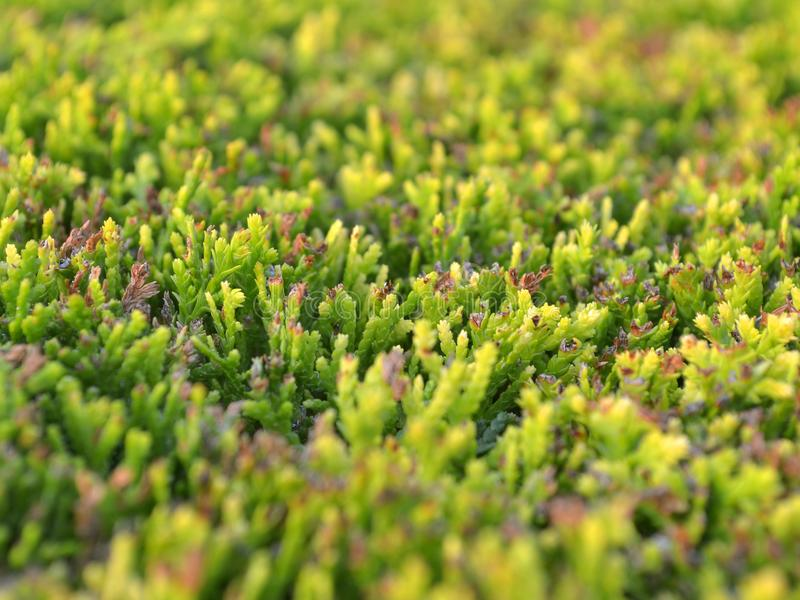 Texture of a smoothly trimmed green cypress bush stock images