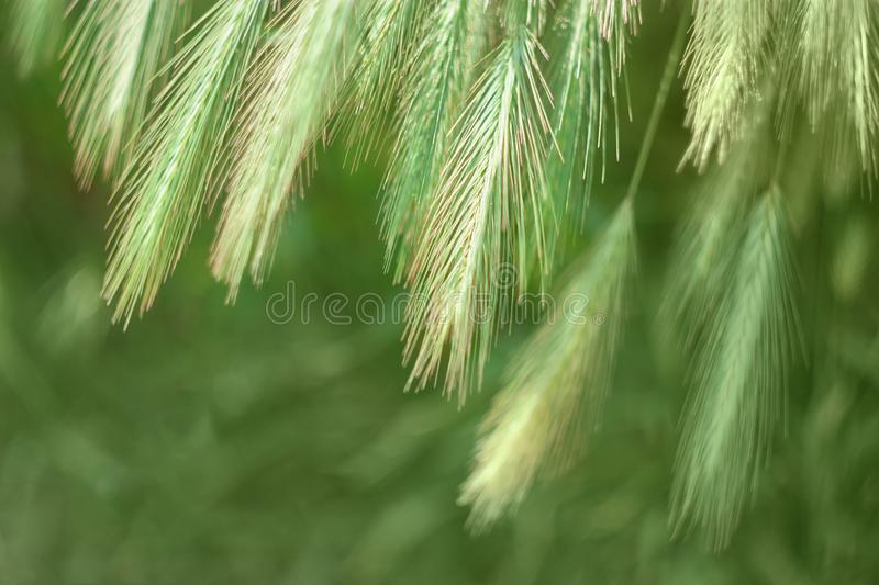 Texture of summer green grass. Spikelets green color, natural summer background royalty free stock photos
