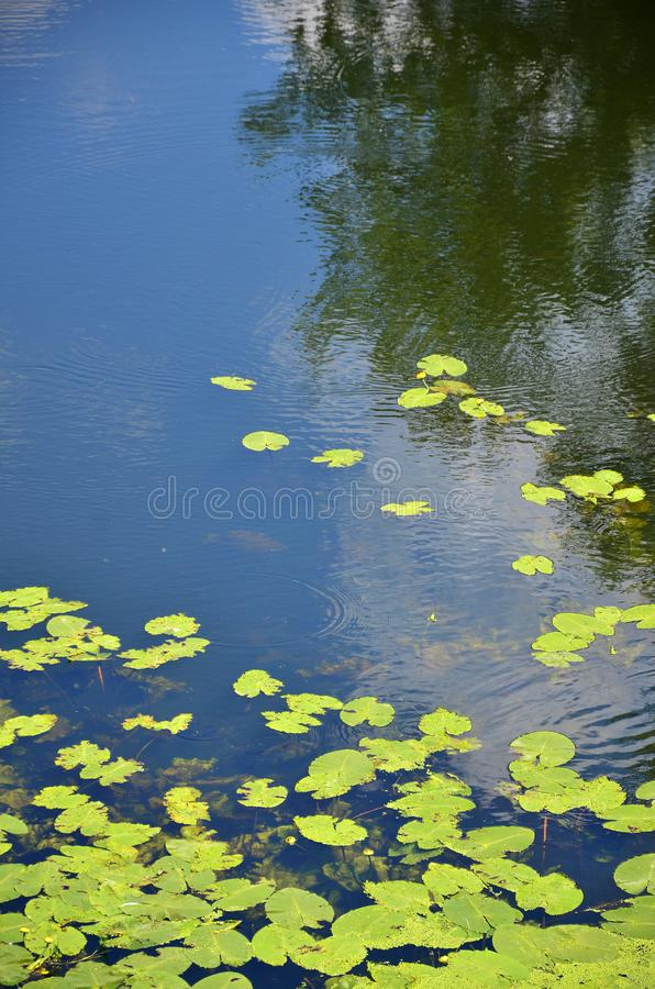Texture of swamp water dotted with green duckweed and marsh vegetatio. N stock images