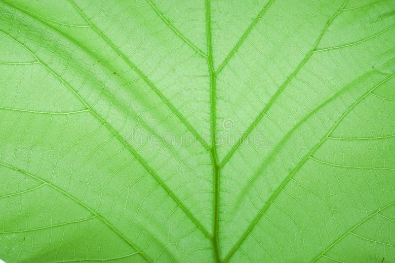 Download Texture Of Tectona Grandis L.f. Stock Image - Image: 19990125