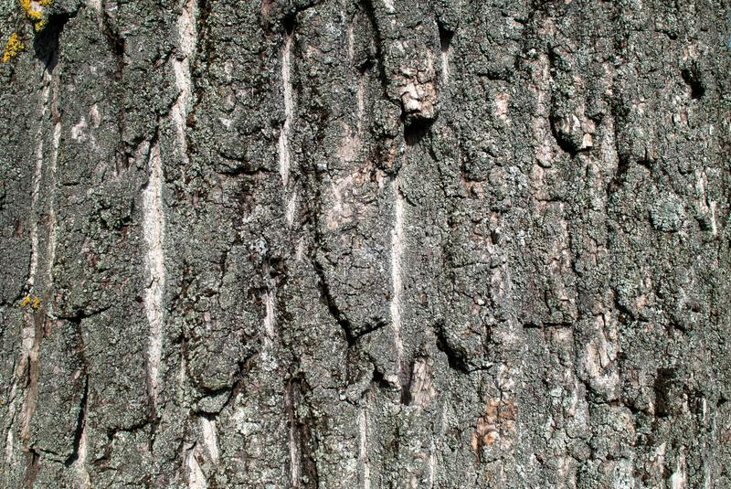 Texture of tree bark on daylight in nature with beautiful furrows. Wood bark texture on daylight in nature with grooves. Natural pattern concept. Close up stock image