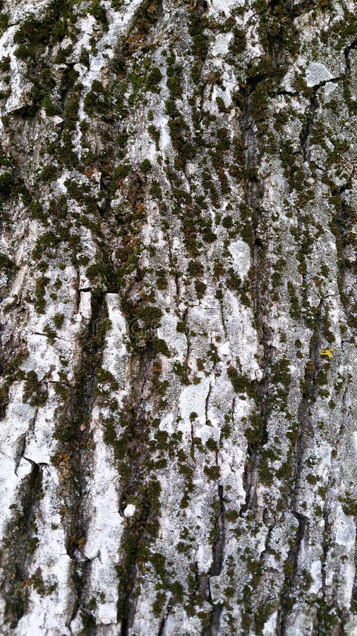 Texture of a tree bark with green moss royalty free stock image