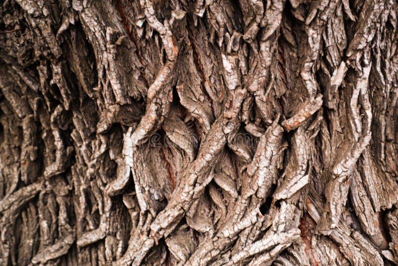 Texture of tree bark. Poplar. stock photos