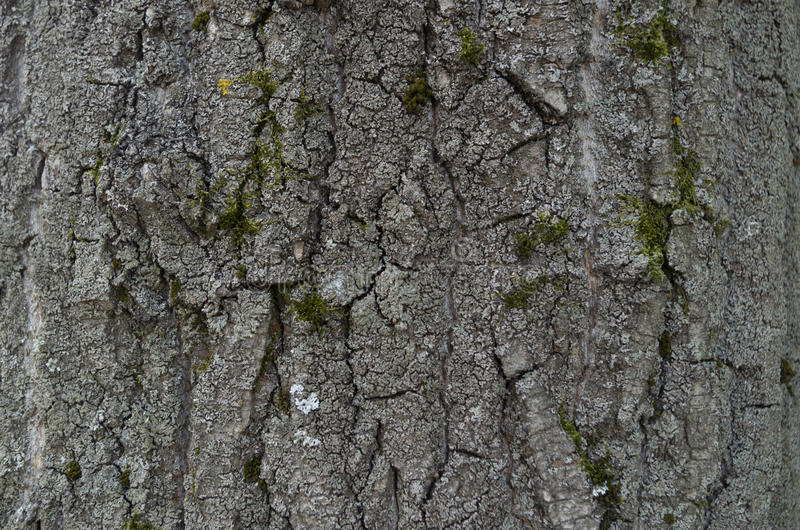 Texture of tree bark. royalty free stock photography