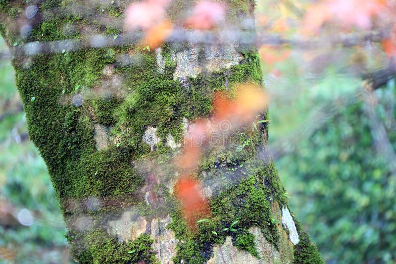 Texture of tree trunk with lichen moss and background green tree. Pattern of tree bark with thallophytic plant and background out focus green tree royalty free stock image