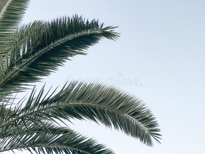 Texture of tropical southern large green leaves, branches of deserted palm trees against the blue sky and copy space.  royalty free stock photo