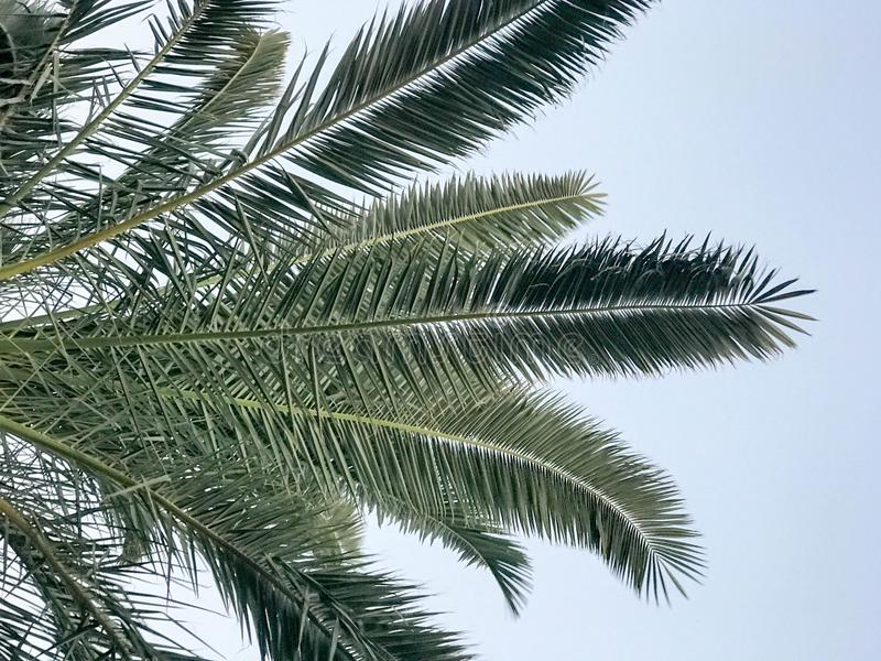 Texture of tropical southern large green leaves, branches of deserted palm trees against the blue sky. Tropical spa background stock images