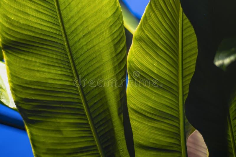 Texture tropicale de feuille, grand feuillage de paume, fond vert texturisé photo libre de droits